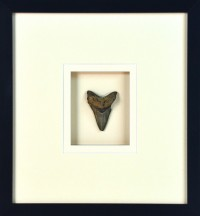SHARKS TOOTH IMAGE